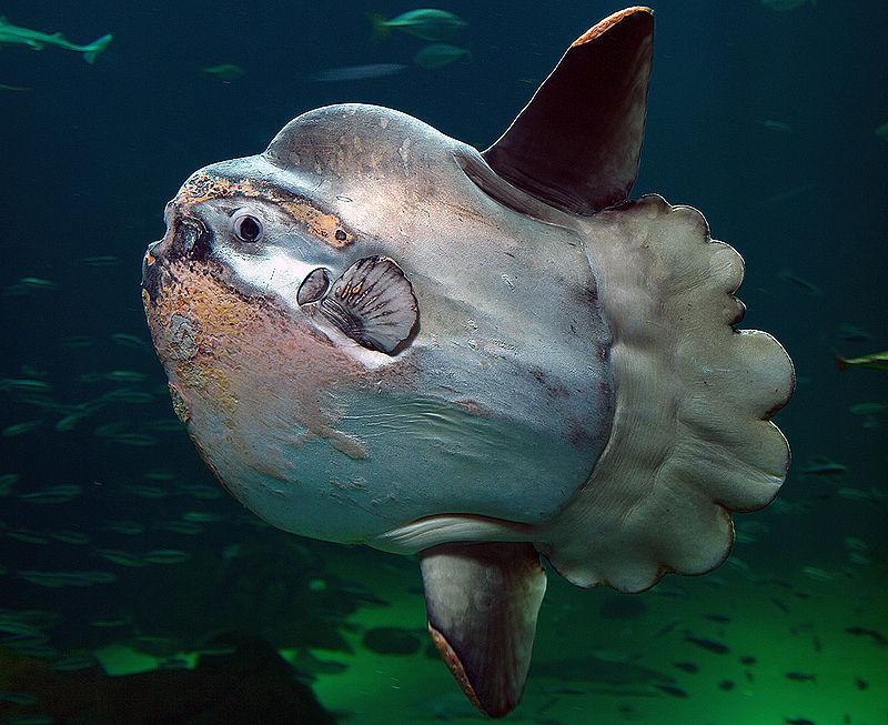 سمكة شمس المحيط: يصل وزنها إلى ألف كيلوجرام