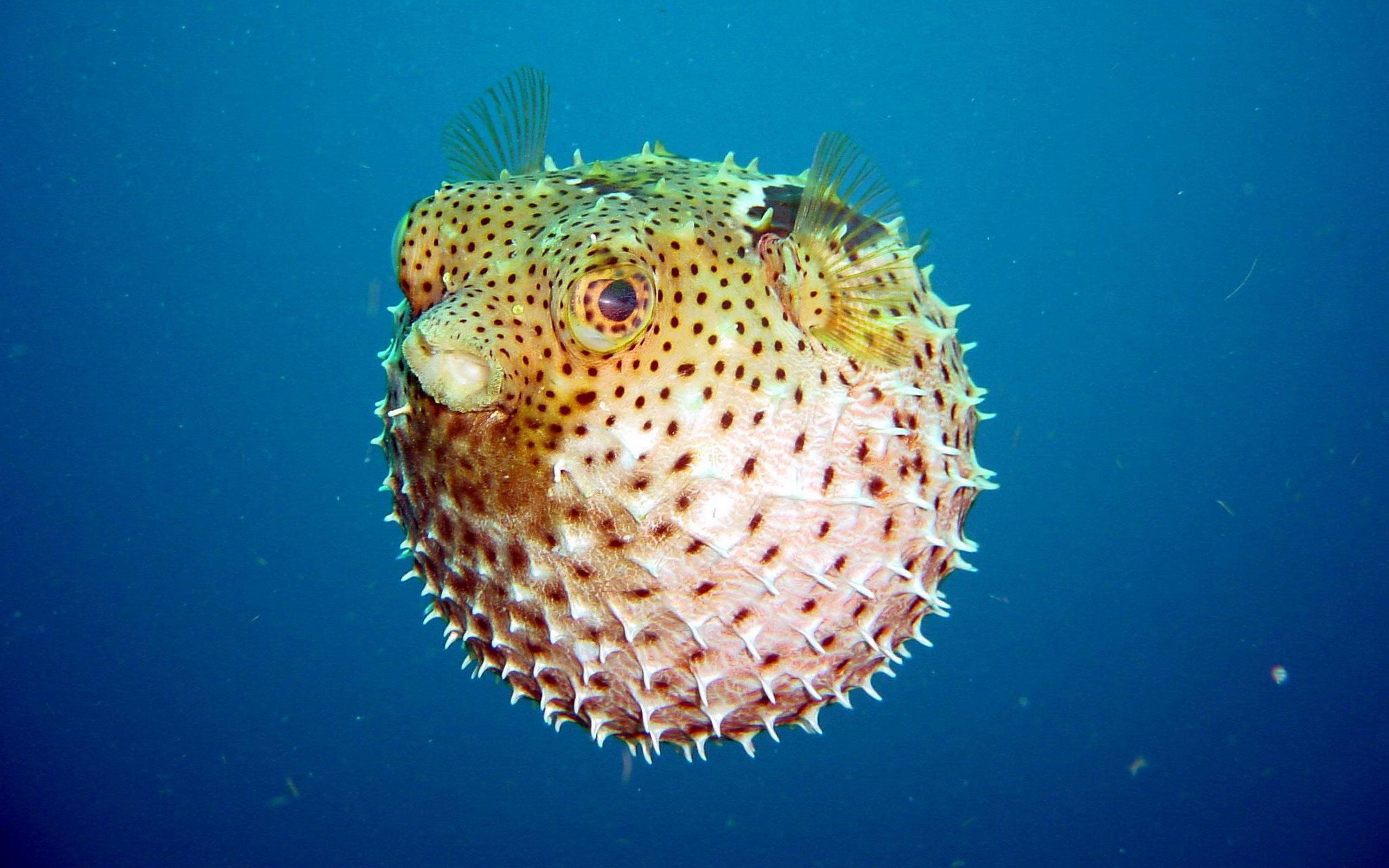 الينفوخ أو السمكة المنتفخة نوع من السمك يستطيع نفخ جسمه مثل البالون.