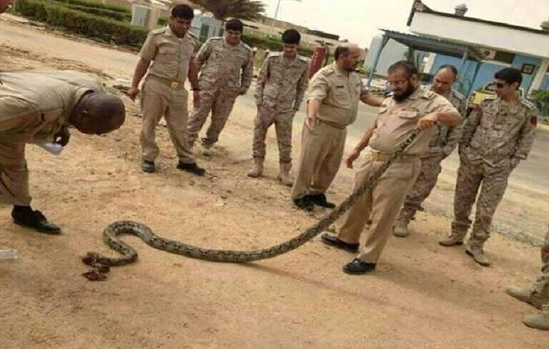 بالصور أفعى ضخمة تهاجم سكن أفراد قاعدة الملك فيصل البحرية بجدة طقس العرب
