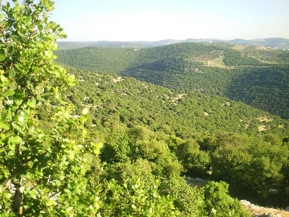 شجرة القيقب ( القطلب) بغابات برقش في لواء الكورة بشمال الأردن