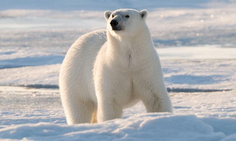 الدب القطبي يواجه خطر الانقراض طقس العرب طقس العرب